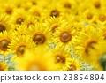 向日葵 向日葵園 花朵 23854894