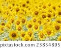 向日葵 向日葵園 花朵 23854895