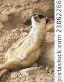 Meerkat resting in zoo 23862266