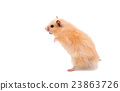 hamster isolated 23863726