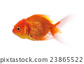 gold fish isolated on white background 23865522