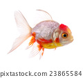 gold fish isolated on white background 23865584
