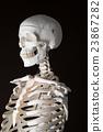 骨架 模特兒 人物 23867282