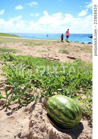 Watermelon growing on Easter Island 23868839