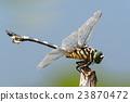 蜻蜓 細鉤春蜓 昆蟲 23870472