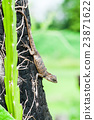 lizard on tree 23871622
