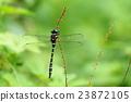 蜻蜓 西博爾德的蜻蜓 雄性 23872105