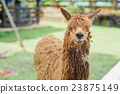 alpaca at zoo 23875149