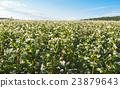 buckwheat field 23879643