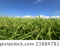 paddy, field, rice 23884781