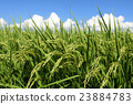 paddy, field, rice 23884783