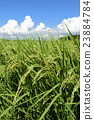 paddy, field, rice 23884784