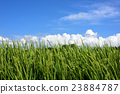 paddy, field, rice 23884787