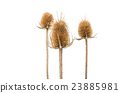 Dry thistle isolated 23885981