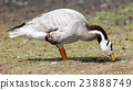 Bar-headed goose (Anser indicus) 23888749