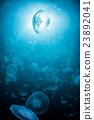 海月水母 月亮水母 水母 23892041