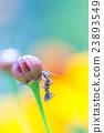 玉米花 蓓蕾 花蕾 23893549