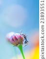 玉米花 蓓蕾 花蕾 23893551