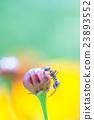 玉米花 蓓蕾 花蕾 23893552