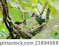 Green Cochoa ,bird as animal background 23894068