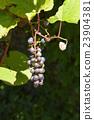 深紅色的榮耀藤 成熟 水果 23904381