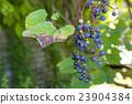 深紅色的榮耀藤 成熟 水果 23904384