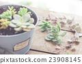 肉質植物 盆栽 觀葉植物 23908145