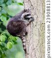 Racoon climbing a tree 23908813