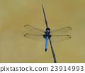 蜻蜓 雄鳥 蟲子 23914993