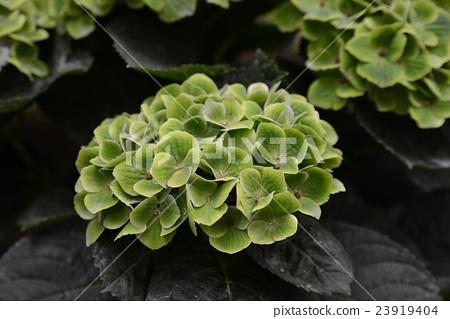 綠色繡球花 23919404