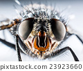 Bluebottle fly macro 23923660