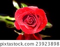 rose red close up 23923898