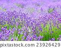 라벤더, 꽃, 플라워 23926429