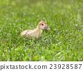 小雞 鳥兒 鳥 23928587