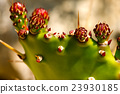 Prickly Pear Cactus with Red Flowers 23930185