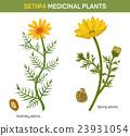 Wolgensis and spring adonis flowering medicinal 23931054