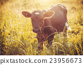 calf grazing on the meadow 23956673