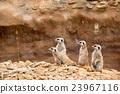 family of meerkat or suricate 23967116