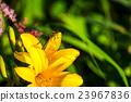 金針花 紅蜻蜓 昆蟲 23967836