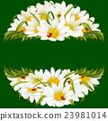camomile, chamomile, flower 23981014
