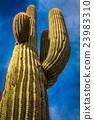 DesertCactus 23983310