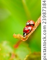 Two red copulating ladybugs on fresh spring leaf 23987384