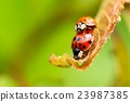 Two red ladybugs on fresh spring leaf 23987385