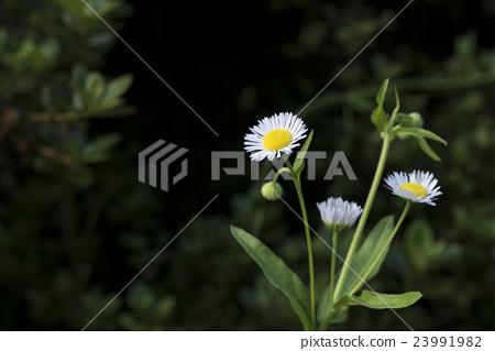 하루지온 (봄 보라색 菀) 23991982