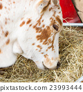 Close up of cow eating hay 23993444
