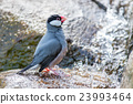 Java sparrow (Lonchura oryzivora) 23993464
