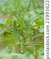 秋葵 蔬菜 夏季蔬菜 23993622