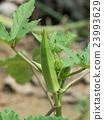 秋葵 蔬菜 作物 23993629