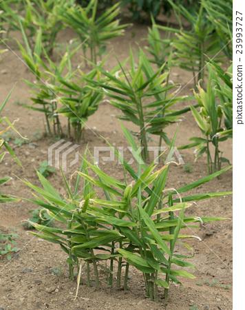 Ginger field 23993727