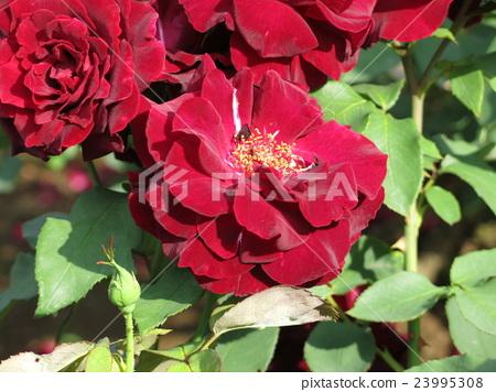 黑珍珠(玫瑰) 23995308